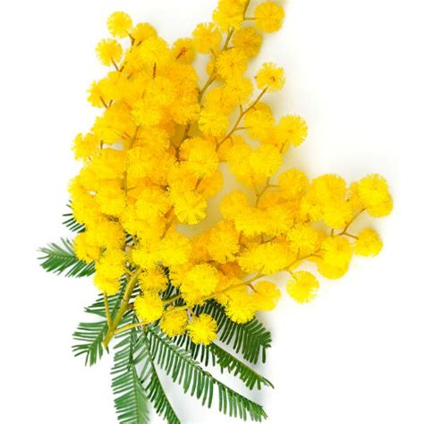 immagine di mimosa fiore la mimosa simbolo della festa della donna attivit 224 ed