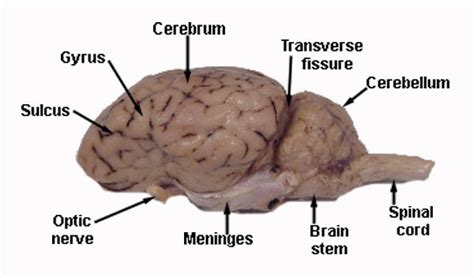 pituitary gland sheep brain