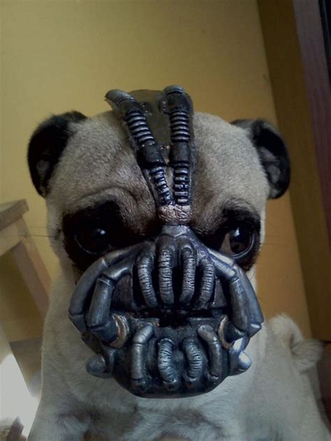 pug batman costume posts