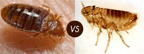 flea vs bed bug fleas in bed