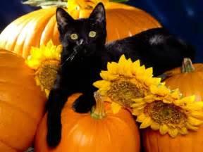 halloween black cats pictures of halloween cats halloween black cats