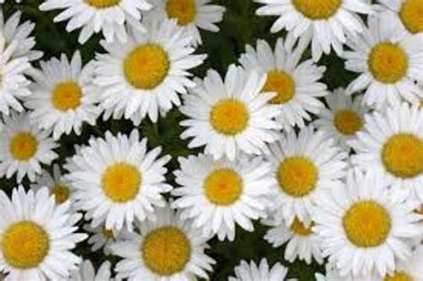 daisy facts 10 facts about daisies fact file