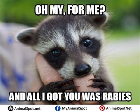 Excellent Raccoon Meme - raccoon memes