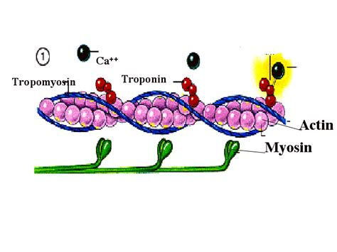 5 proteins of myofilaments myofibril food wiki food network solution