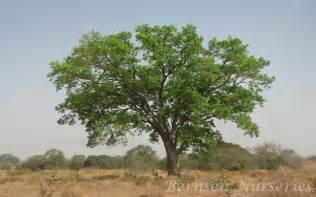 Mahogany tree naples