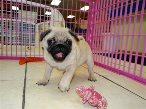 dogs for sale in az pug puppies dogs for sale in arizona az 19breeders gilbert peoria