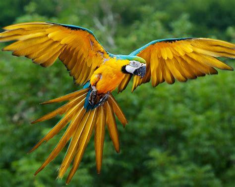 Parrot L by Parrot Flying Hd By Claudiu D Desktop Wallpaper