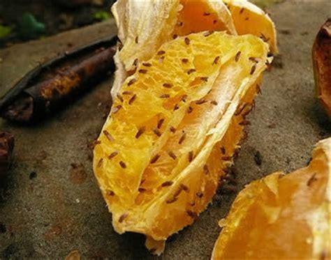 Hoe Voorkom Je Fruitvliegjes by Fruitvlieg Of Bananenvlieg Of Drosophila Melanogaster