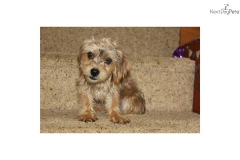 yorkie bichon mix price meet pear a mixed other puppy for sale for 400 shorkie yorkie bichon mix pearlie