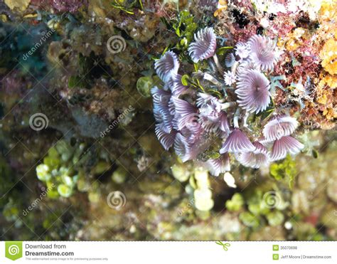 social feather duster worms social feather duster worms royalty free stock photos