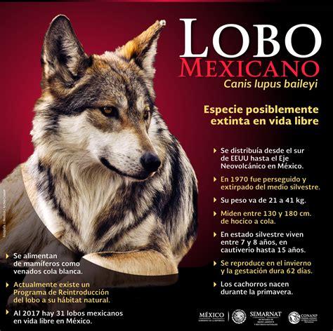el lobo de los 1519600925 el lobo mexicano resurge en m 233 xico comisi 243 n nacional de