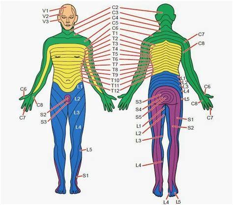 Dermatomes Anatomy Spine Health Spinal Nerve Anatomy