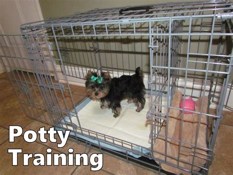 best way to potty a yorkie puppy the 25 best yorkie ideas on yorkie puppies teacup yorkie and