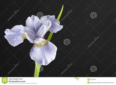 black and grey iris flower iris flower royalty free stock photography image 32757947