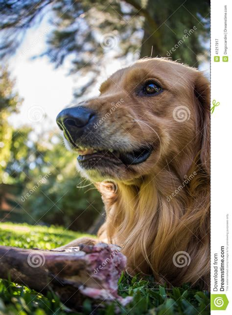 golden retriever dangerous fearless dangerous a bone golden retriever stock photo image 41217917