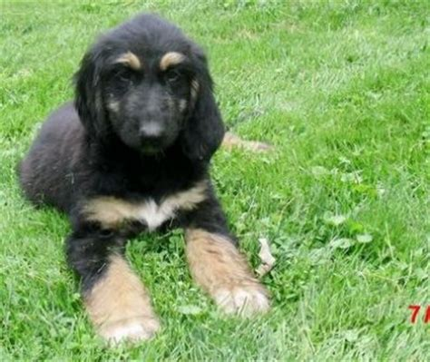 afghan hound puppies for sale home trained afghan hound puppies for sale sheffield 31323770