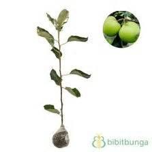 Biji Benih Tanaman Buah Indian Jujube tanaman apel