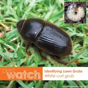 healthy lawns how to detect lawn grubs about the garden