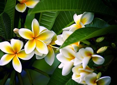 fiori frangipane l incanto di bali e il profumo sacro fiore dei templi