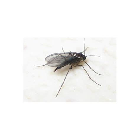 what causes gnats in house gnats in the house bbt com