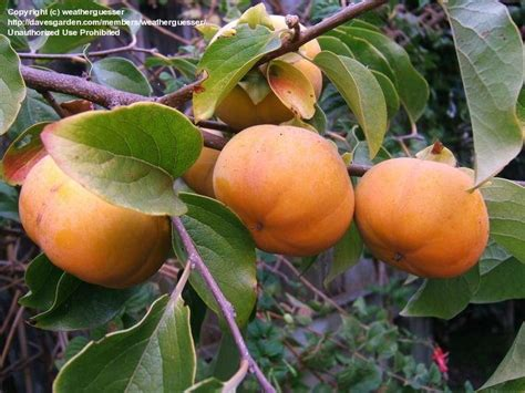 japanese fruit tree plantfiles pictures japanese persimmon