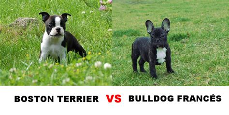 pug vs boston terrier boston terrier pug mix boston terrier vs bulldog vs pug breeds picture