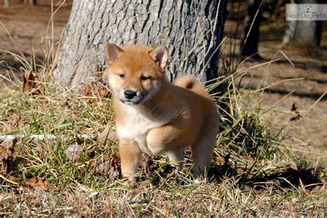 shiba inu puppies nc shiba inu puppy for sale near carolina 708cdd41 45f1