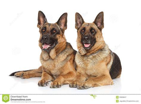 German Shepherd Dogs On White Background Royalty Free