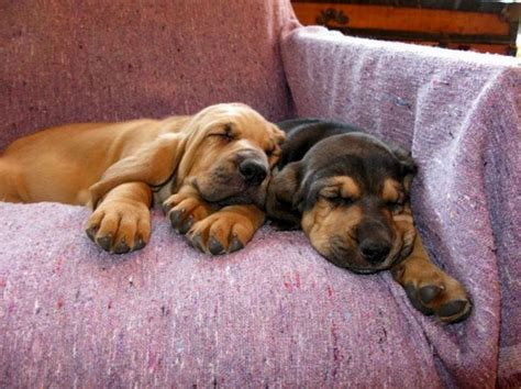 bloodhound puppies for free 1000 images about bloodhounds on blood puppys and sheriff office