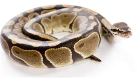 7 Techniques On Caring For A Python by Tips On Taking Care Of Pythons Animals Me