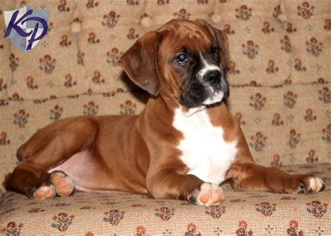 baby puppies for sale baby boxer www imgkid the image kid has it