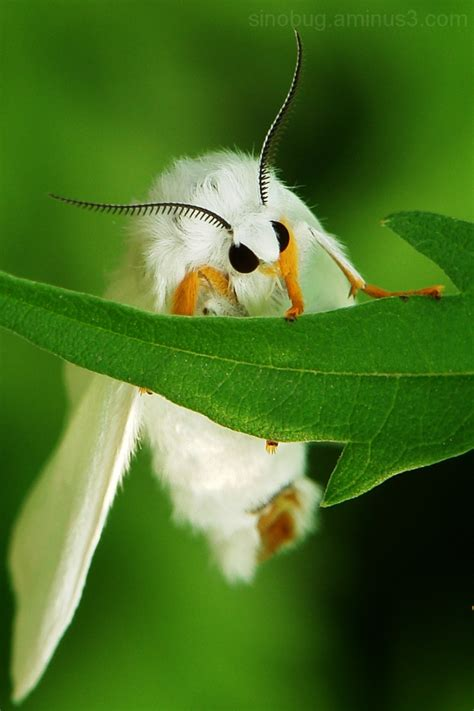 fluffy white white fluffy moth www pixshark images galleries with a bite