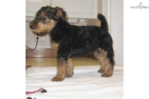 airedale puppies airedale terrier puppy for sale near hton roads virginia 0fb6b64a b861