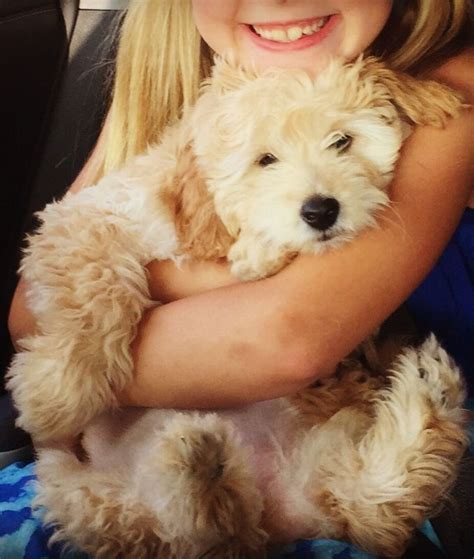 mini goldendoodles las vegas 1000 ideas about standard goldendoodle on