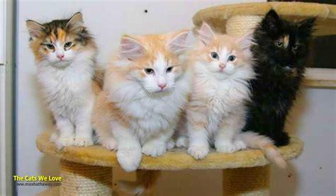 Asian Semi longhair   The Cats We Love