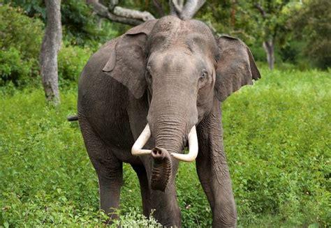 elephant biography in hindi elephants take revenge on village after herd member is