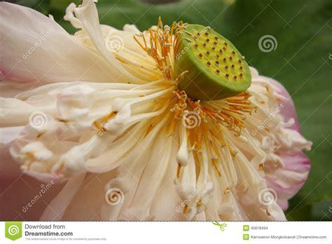 fiore di loto rosa fiore di loto rosa appassito fotografia stock immagine