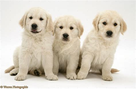 puppies picture kawaii puppies dogs picture