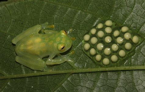 reticulated glass frog hyalinobatrachium valerioi observed  nito  december