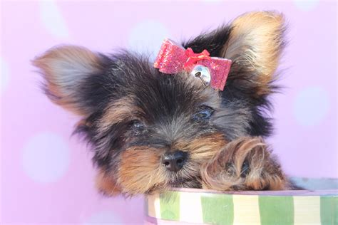 yorkie definition top yorkie puppies wallpaper wallpapers
