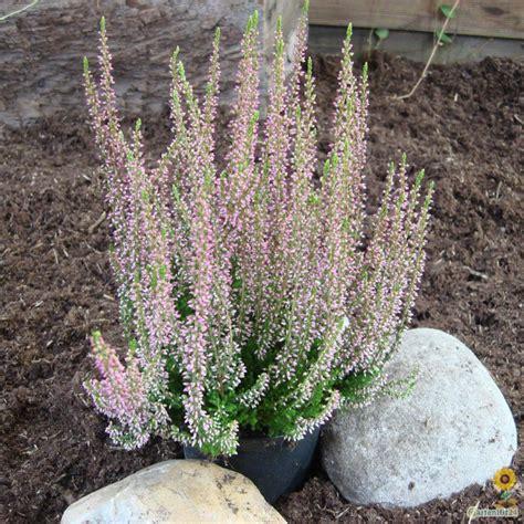 Calluna Vulgaris Sorten by Sommerheide Besenheide Calluna Rosita Gardengirls 174