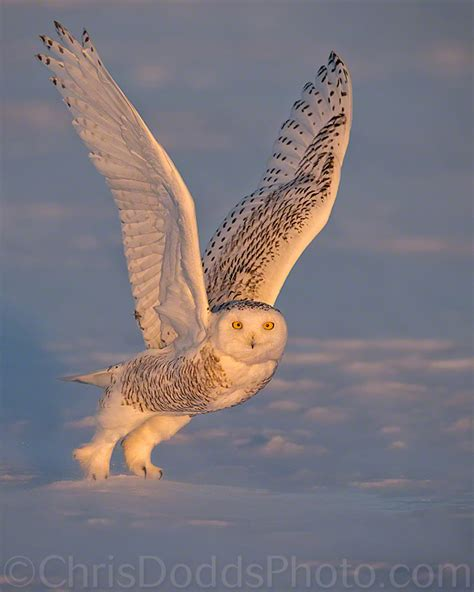 Canon Creative Park Snowy Owl By Radoslawkamil On Deviantart - snowy owl photo tour update nature photography