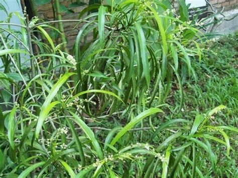 manfaat daun zodia  kesehatan tubuh  sehat