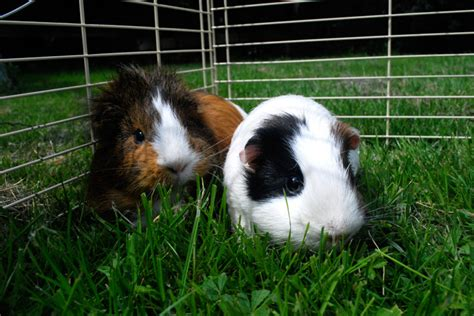 room temperature for guinea pigs guinea pig cages cleaning tips and hacks coops cages coops and cages
