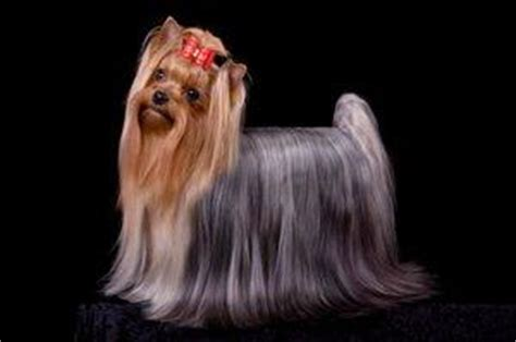 show pictures of a cotton coat yorkshire grooming a yorkie lovetoknow