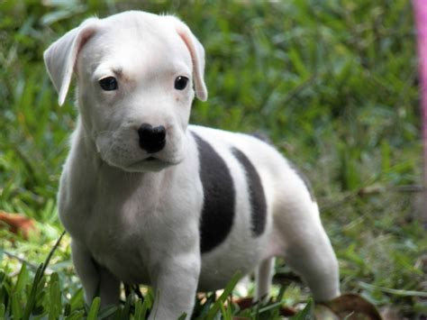 puppy pitbull pitbull puppies wallpaper high definition high quality widescreen