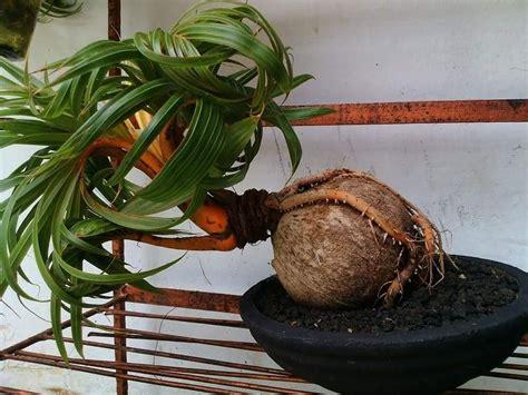 langkah mudah  membuat bonsai kelapa bercabang