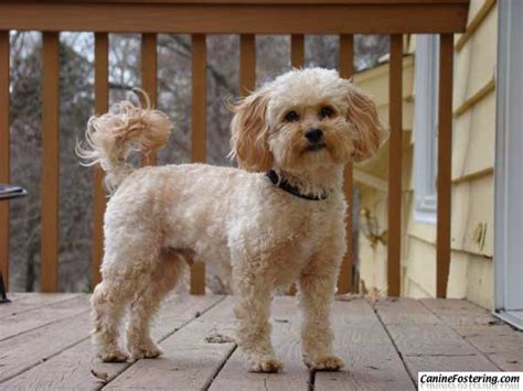 shih tzu and pitbull mix pictures cavalier king charles spaniel poodle mix