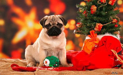 pug under the christmas tree free cute puppy wallpapers