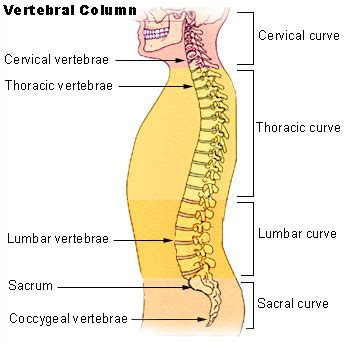 Spinal Column Sections by The Spine The Vertebral Column